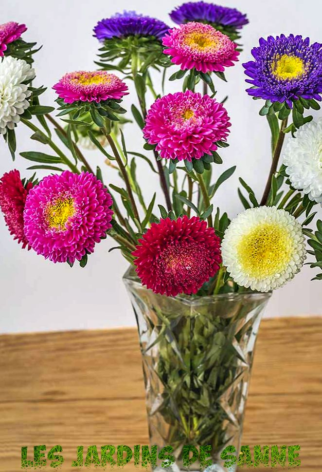 China Aster Flowers - Was sind die Wachstumsbedingungen für China Aster Plants