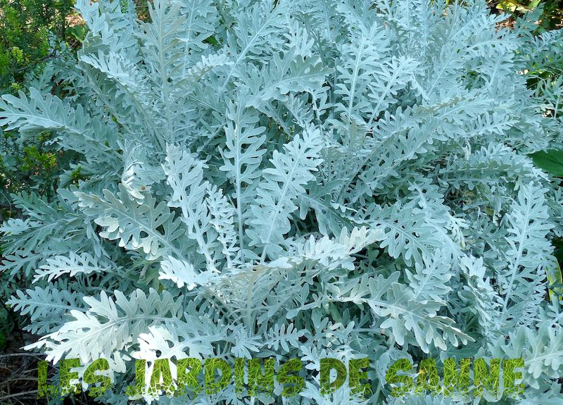 Crushed Velvet Plant Care - Züchtung eines Crushed Velvet Dusty Miller