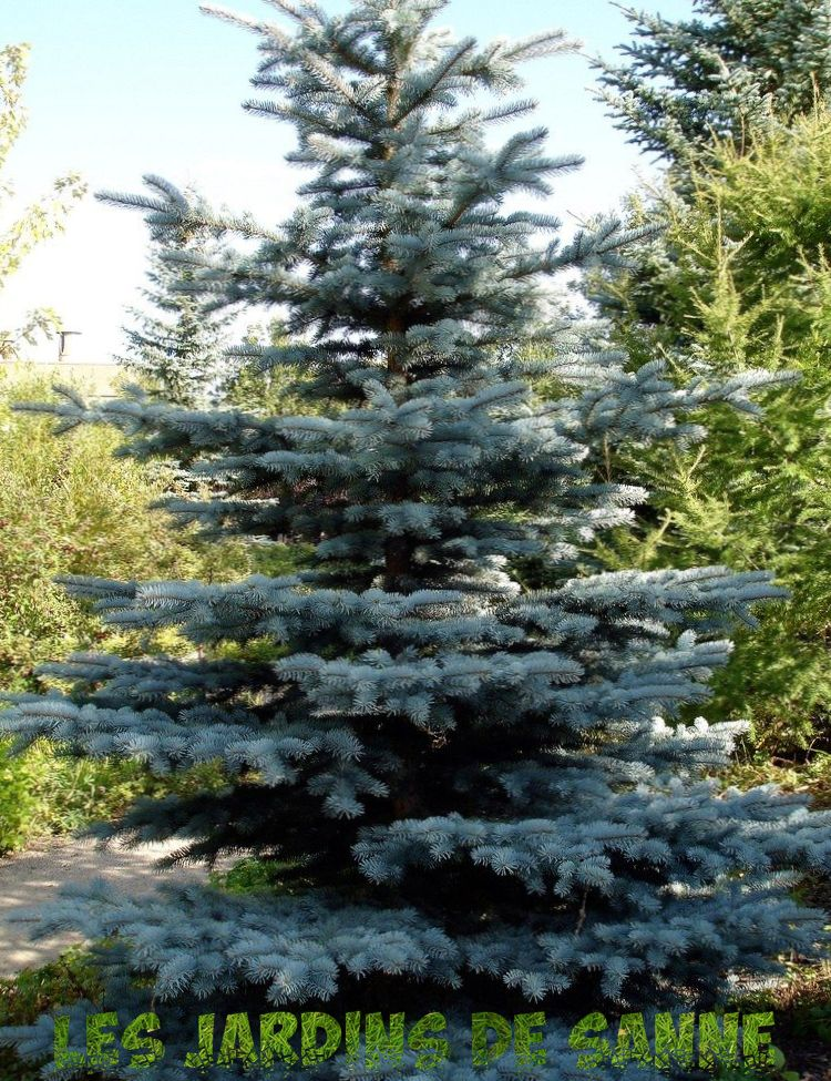 Colorado Spruce Info - Wie man einen Colorado Blue Spruce-Baum züchtet