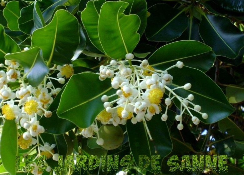 Was ist ein Beauty Leaf Tree - Informationen zu Calophyllum Beauty Leaf Trees