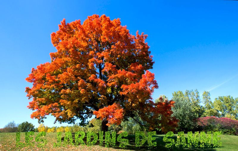Sugar Maple Tree Facts: Informationen zum Anbau von Sugar Maple Tree
