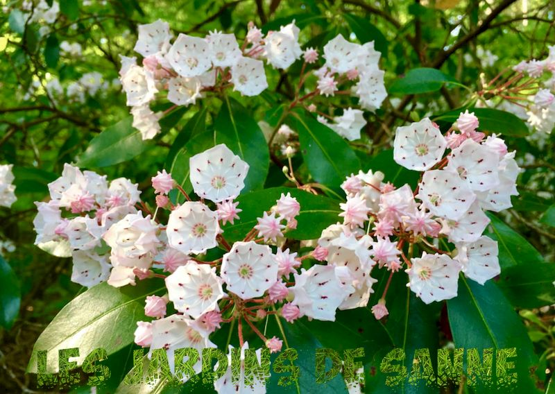 Mountain Laurel Water Needs - Tipps zum Gießen von Mountain Laurel Bushes
