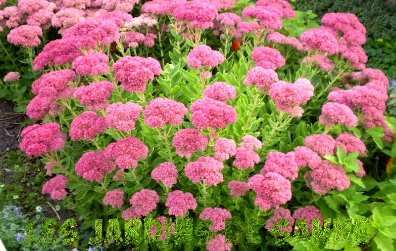 Sedum Spectabile ' Meteor ' Facts - Learn How To Grow Meteor Stonecrop Plants