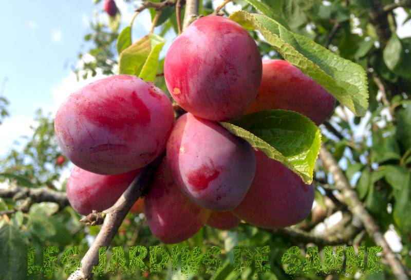Wallis's Wonder Plum Care: Tipps zum Anbau von Wallis's Wonder Plums At Home