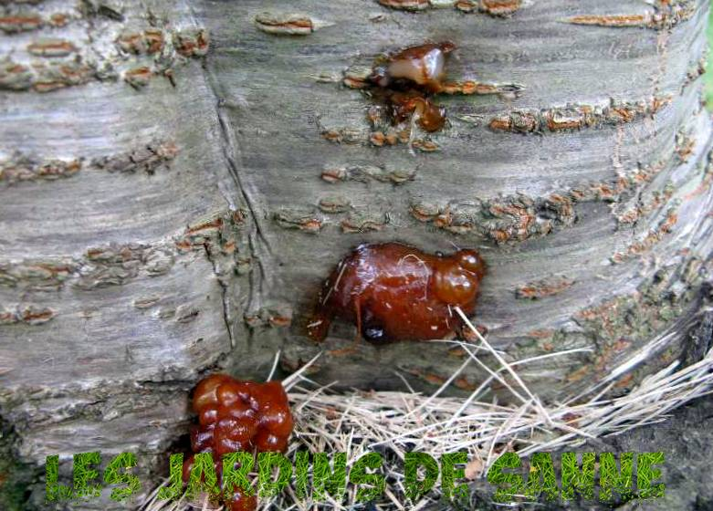 Cherry Tree Borer Damage - So kontrollieren Sie Cherry Tree Borer