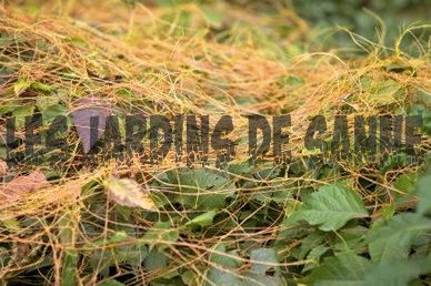 Dodder Weed Control: So werden Dodder Plants los
