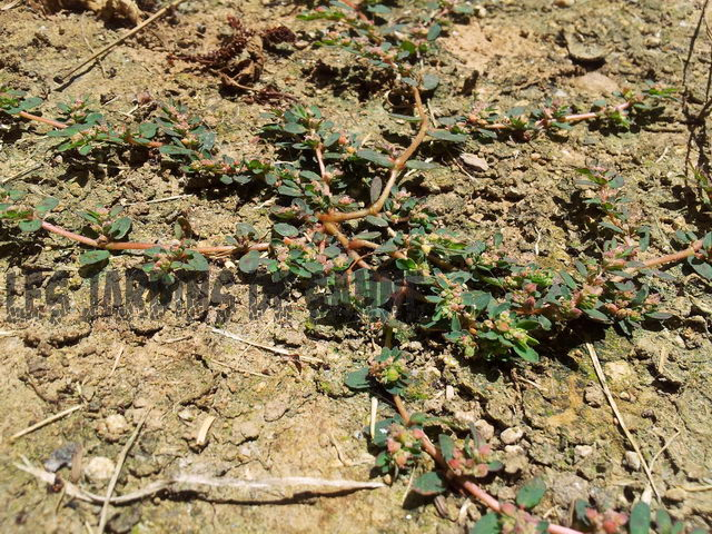 Tipps zur Spotted Spurge Control