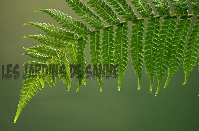 Boston Fern With Black Fronds: Wiederbelebung der Black Fronds auf den Boston Farnen